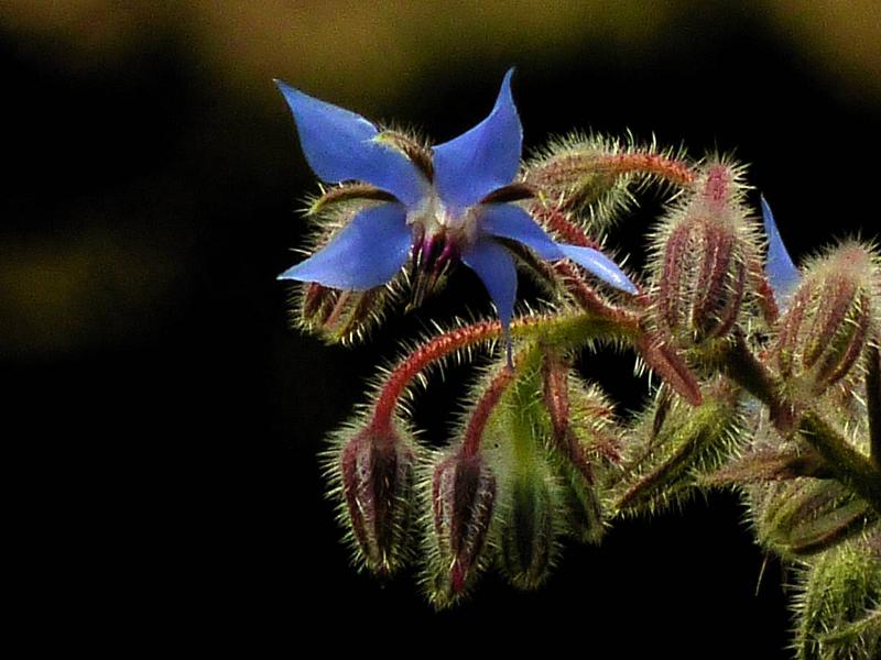 fleur-de-bourrache-libre