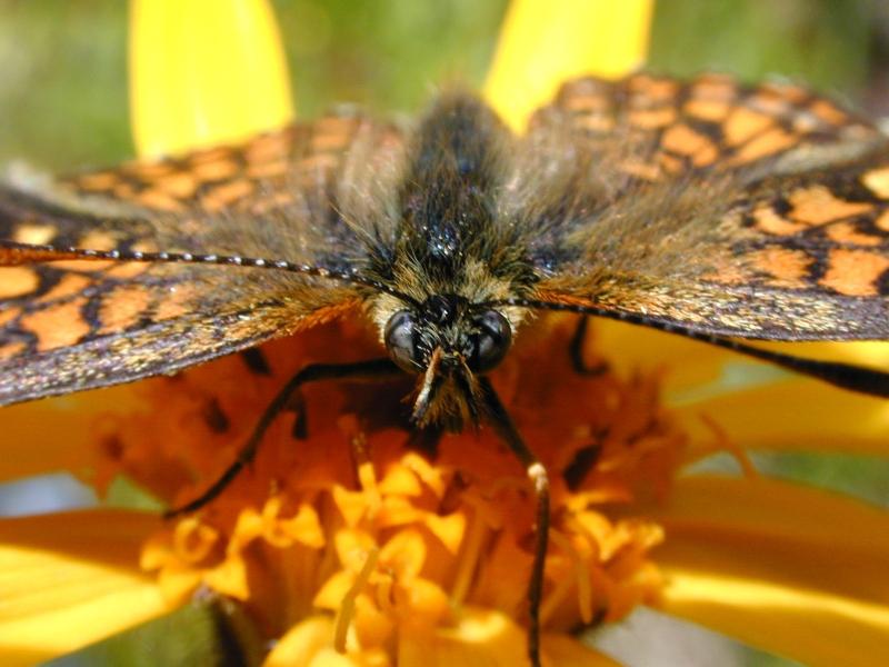 papillon_orange_00